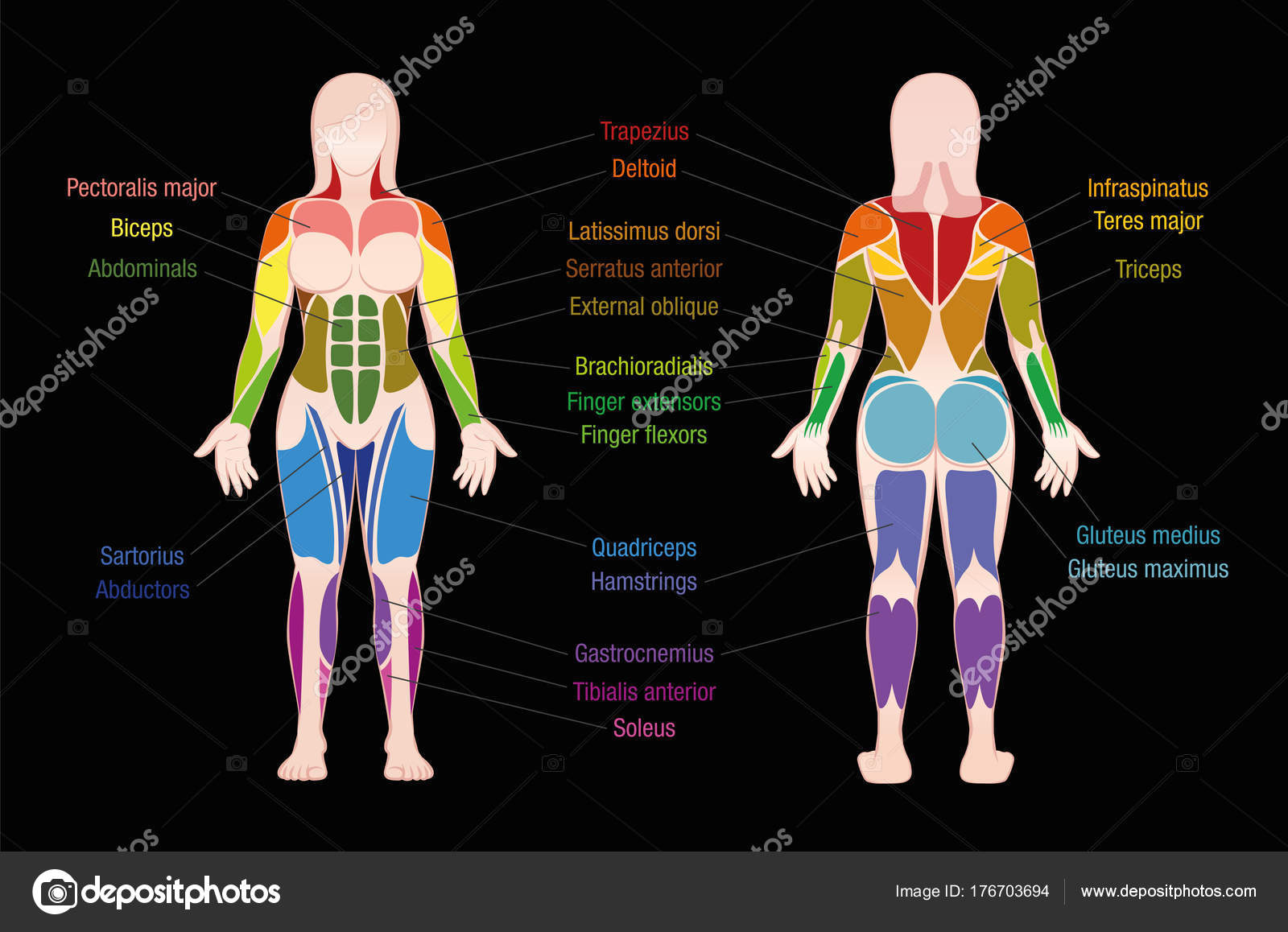 Muscle Chart Female Body Colored Muscles Black Stock Vector