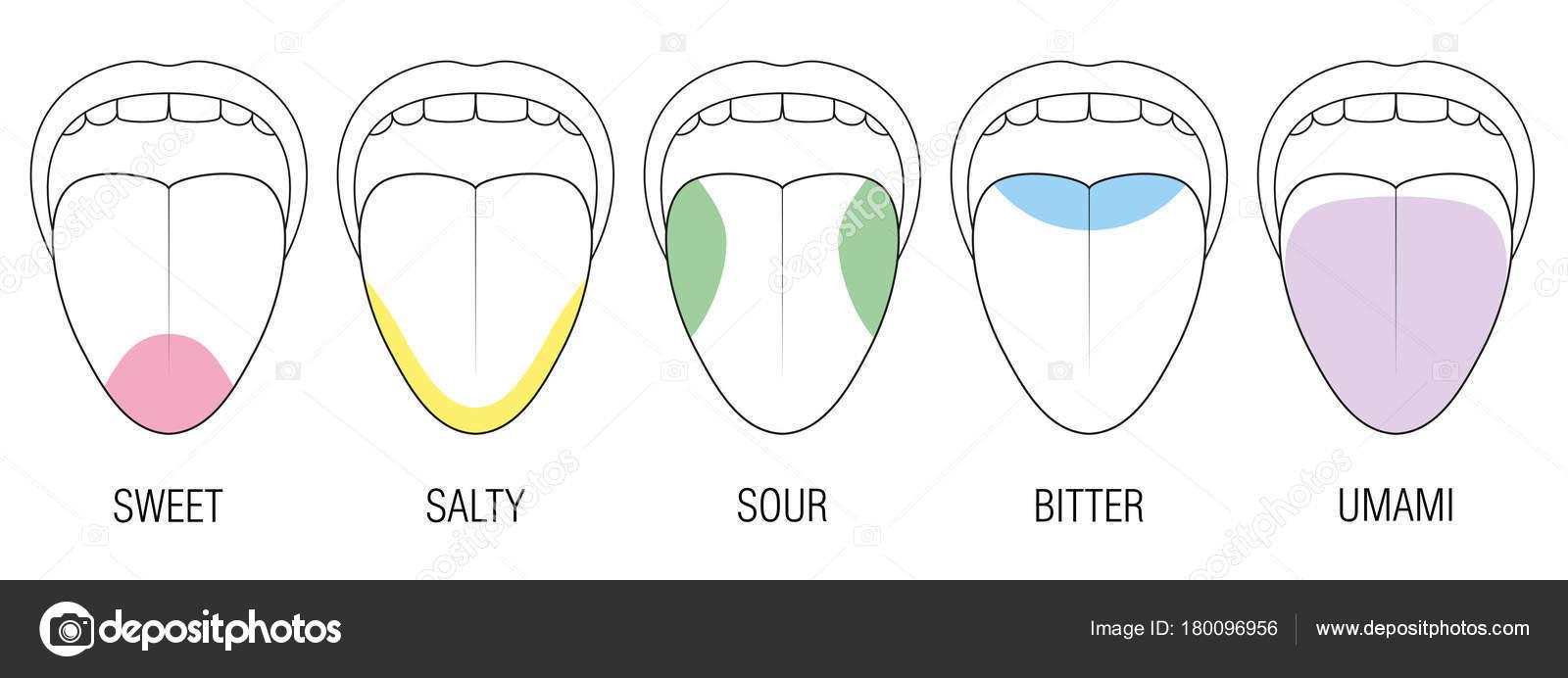 Geschmack Bereiche menschlichen Zunge Farben Abbildung — Stockvektor ...
