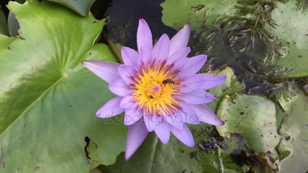 Closeup Lotosový květ s Včelí roj