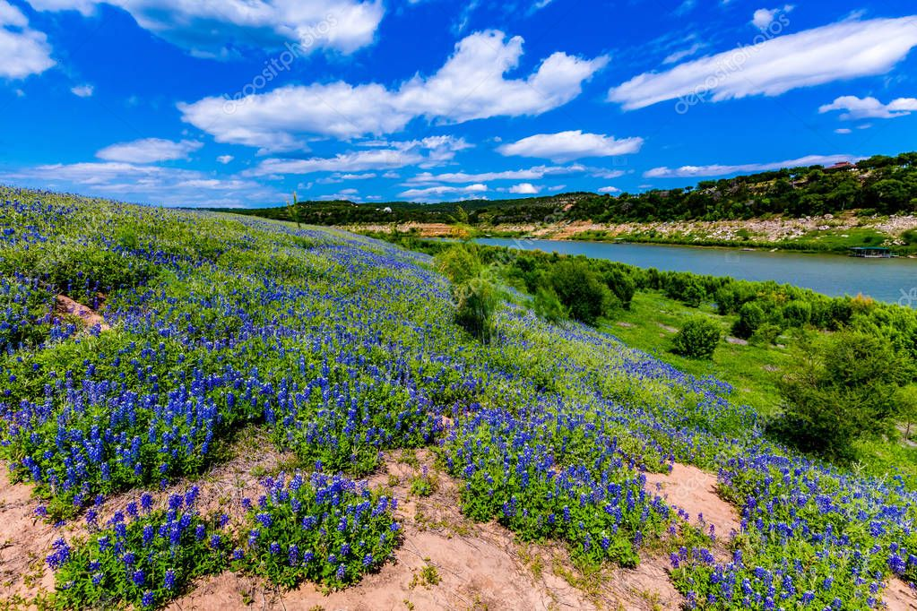 Wide Angle View of Famous Texas Bluebonnet (Lupinus texensis) Wi