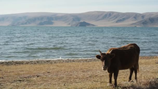 bull,cow,red,black,white,graze near mountains,water,chew grass,wag their tail