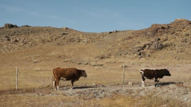 bika, tehén, fekete, fehér, legelő közelében hegyek, víz, rágni fű, csóválja a farkát