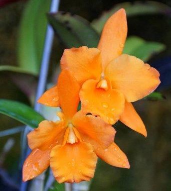 Orange color of Brassolaelio Cattleya 'Fuchs Orange Nugget Lea' orchids stock vector