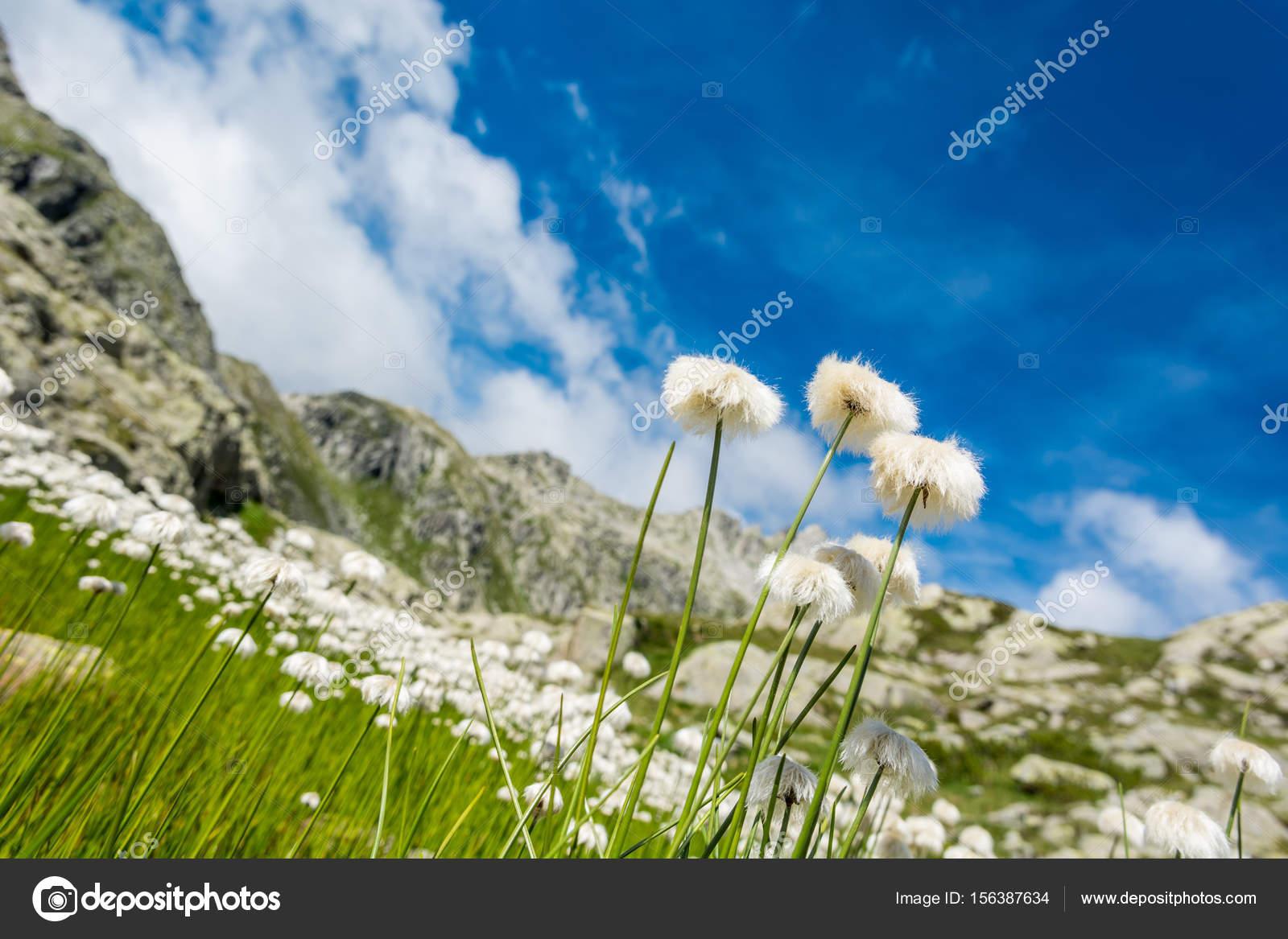 White mountain flowers stock photo anzezjan 156387634 white mountain flowers lush meadow in brenta dolomites photo by anzezjan mightylinksfo