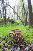 Galerina houby boční pohled