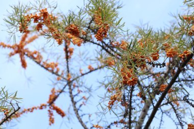 Sea buckthorn tree, orange healthy fruits during ripening in sunny weather with beautiful blue sky. Source of vitamin C. Hippophae rhamnoides