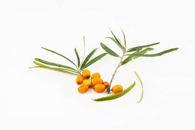Close-up of orange sea buckthorn berries along with green leaves separated on white background. Source of vitamin C. Hippophae rhamnoides