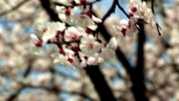 krásné větve stromů s třešňový květ