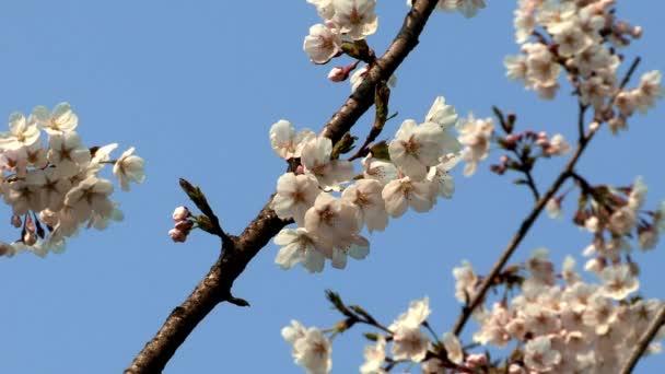 gyönyörű fa ágai cseresznyevirággal