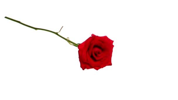 Červená růže izolované na bílém pozadí