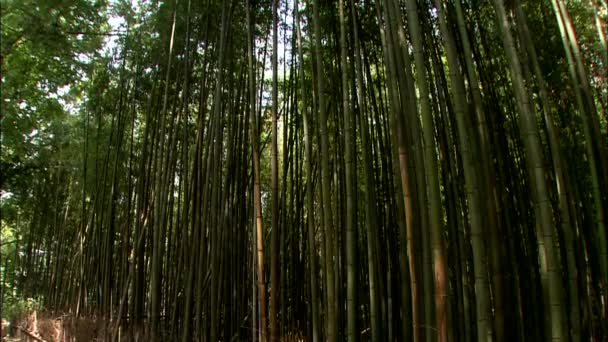Bottom view of tall bamboo trees with green leaves on tops