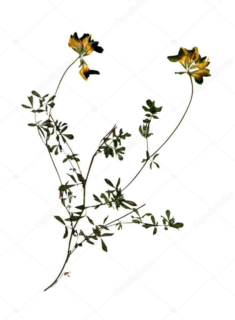 Sechee Fleur De Lucerne Jaune Photographie V Nikitenko C 130330826