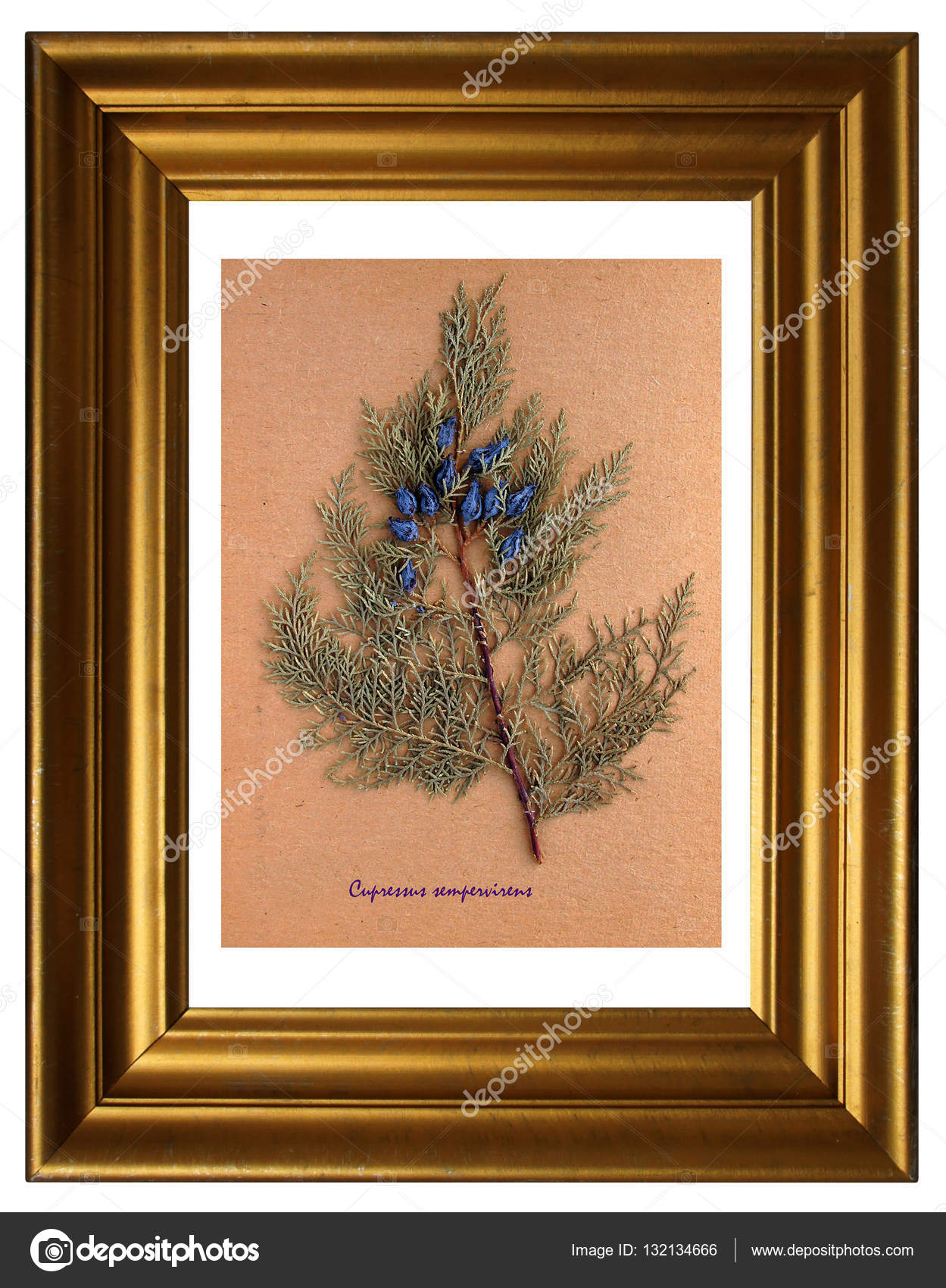 Herbarium der Mittelmeer-Zypresse — Stockfoto © V_Nikitenko #132134666