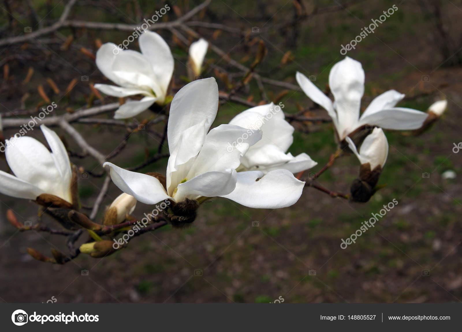 White Magnolia Flowers Stock Photo Vnikitenko 148805527