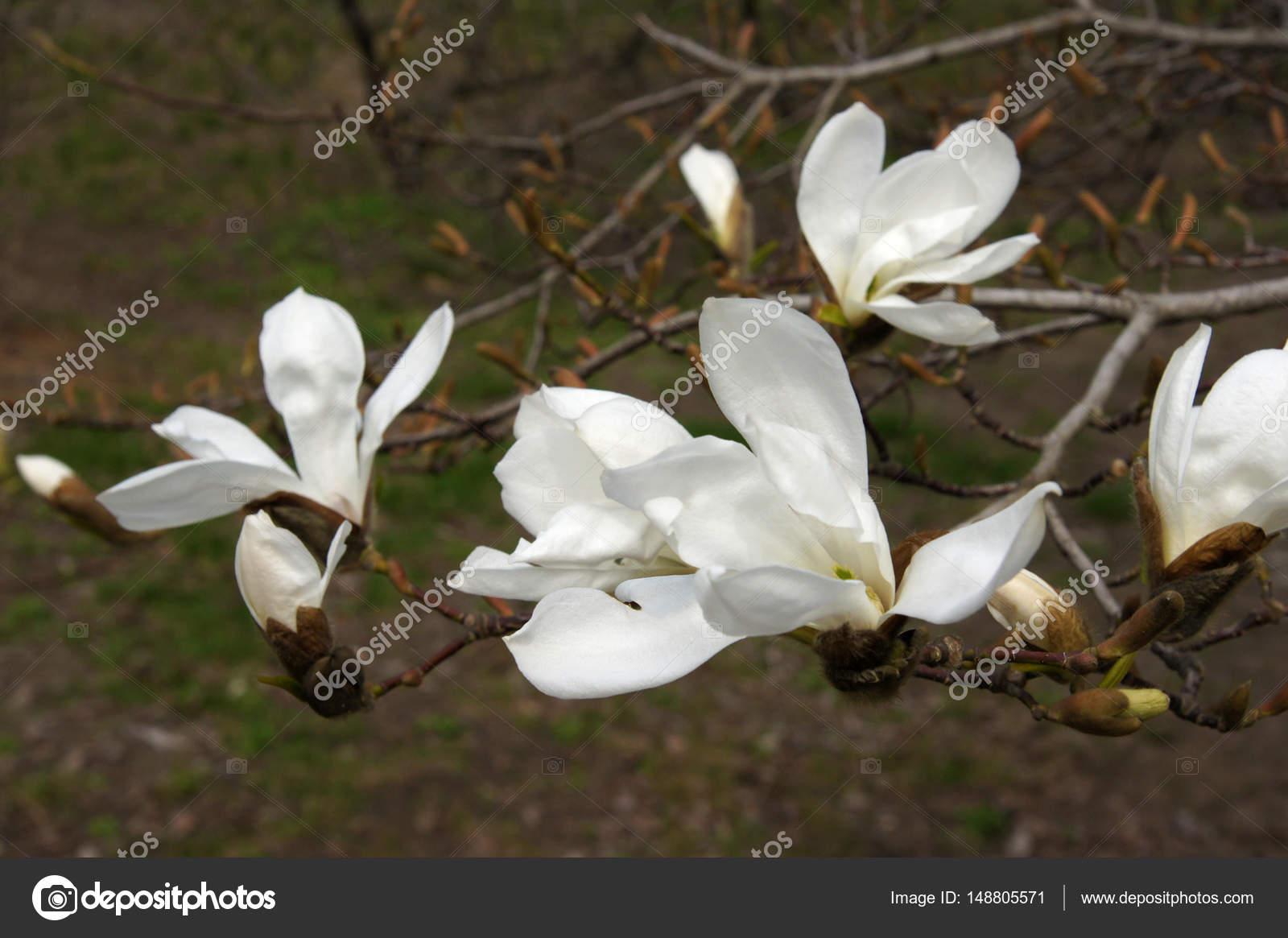 White Magnolia Flowers Stock Photo Vnikitenko 148805571