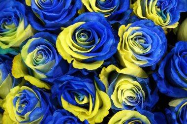 Sweden rose flowers