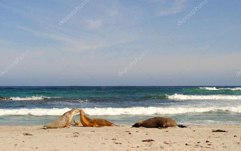 Seals at Seal Bay in Kangaroo Island, South Australia.