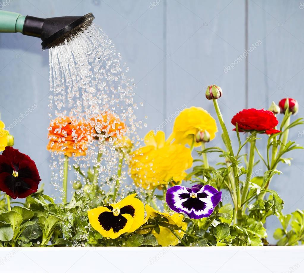 Watering the flowers in the home garden or on the balcony