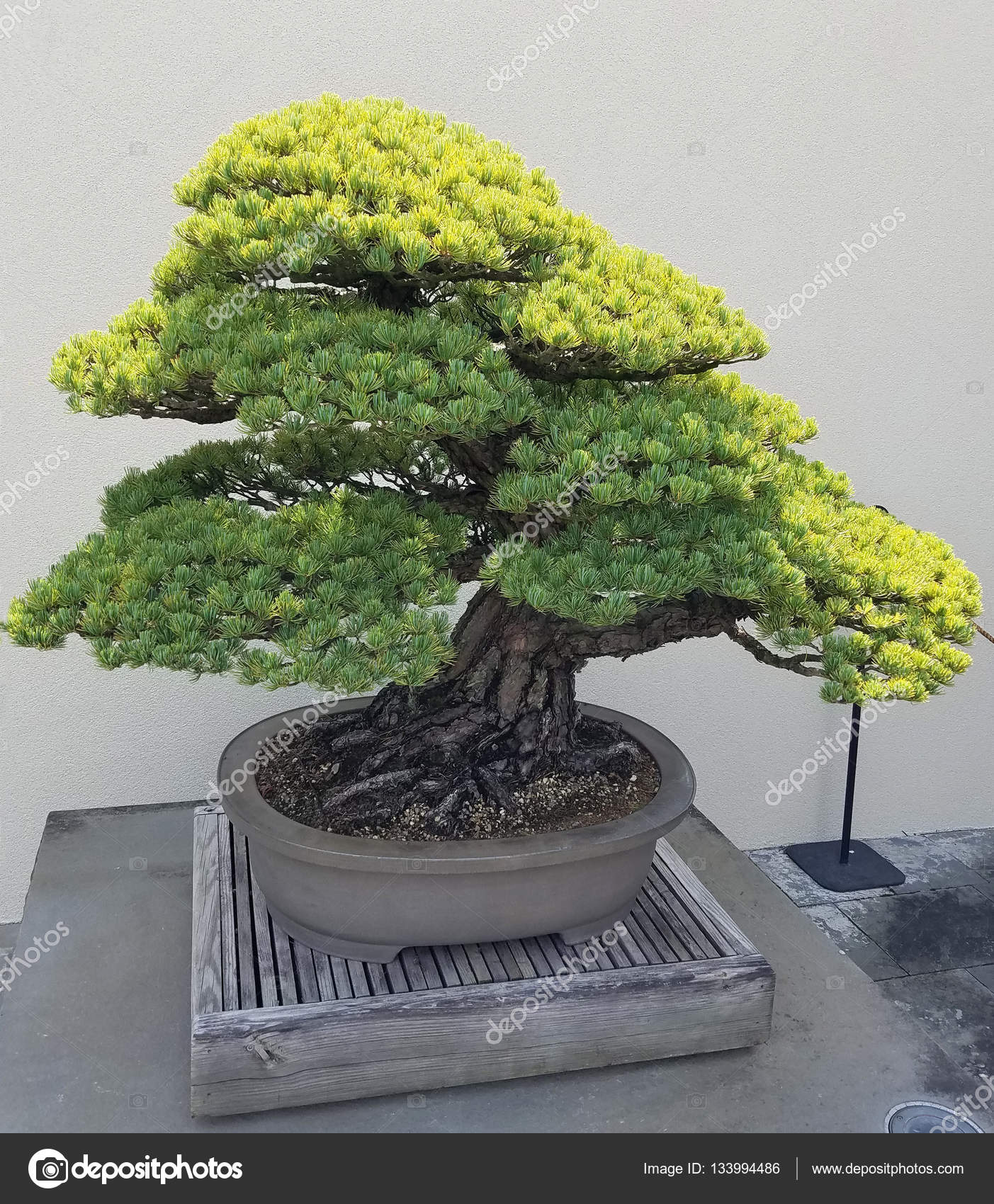 Miniature Juniper Bonsai Stock Photo 3000ad 133994486 Wiring Tree And Penjing Landscape With In A Tray By