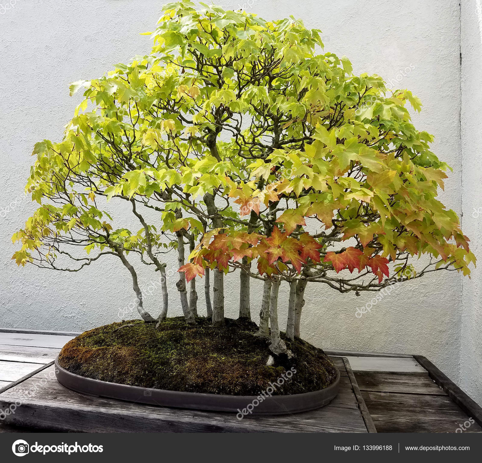 Bonsai Maple Trees Stock Photo 3000ad 133996188 Wiring Seedlings And Penjing Landscape With Miniature Deciduous In A Tray By