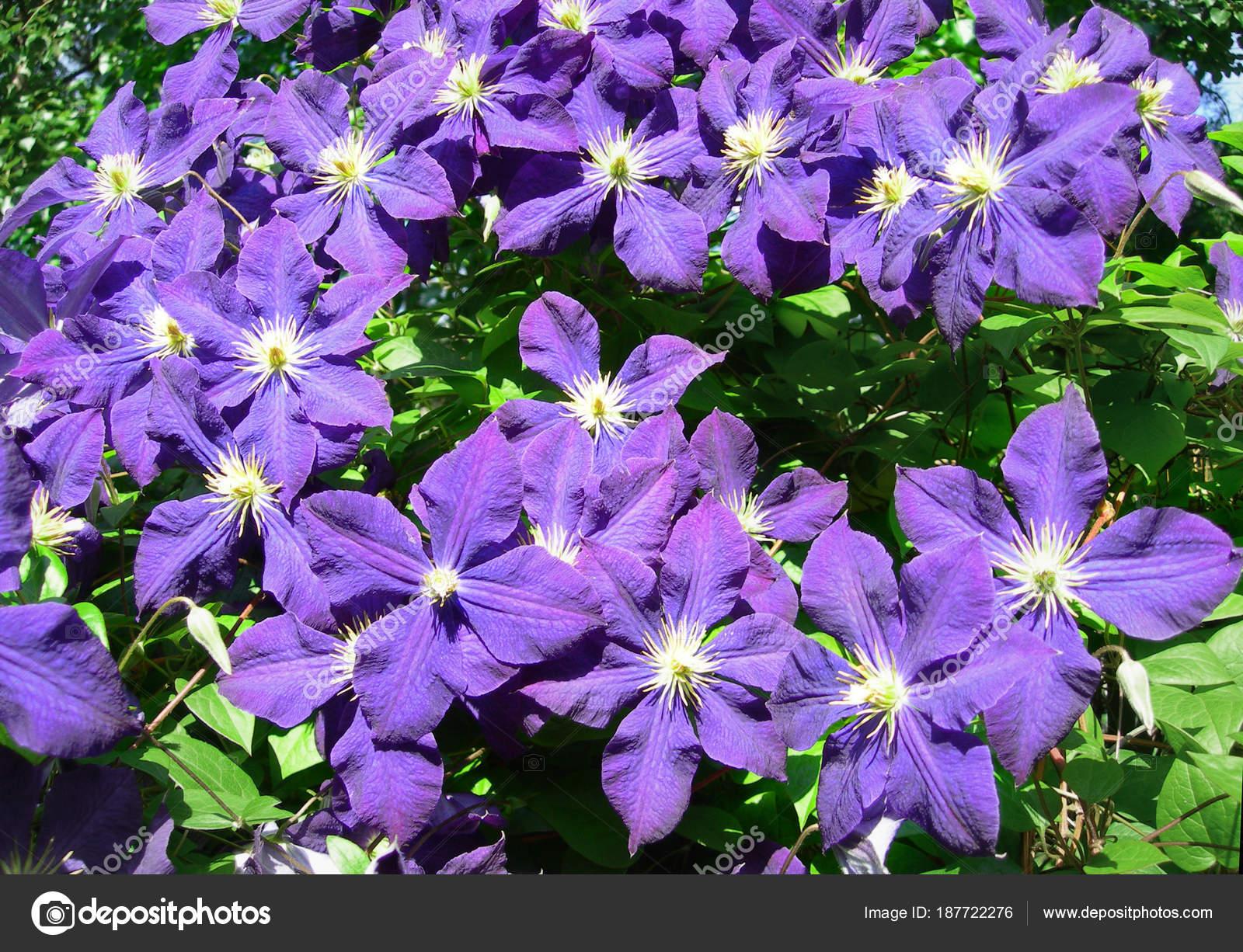 Une Plante Grimpante De Fleurs De Clematite Violet Photographie