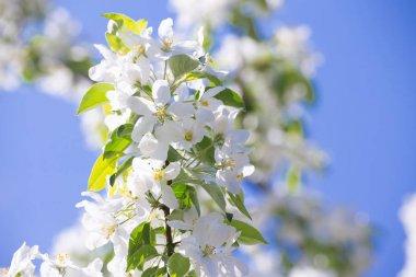 White flowers of Apple trees in the spring in Kolomenskoye Park in Moscow