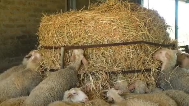 A birkák eszik szénát, egy farmon állomány