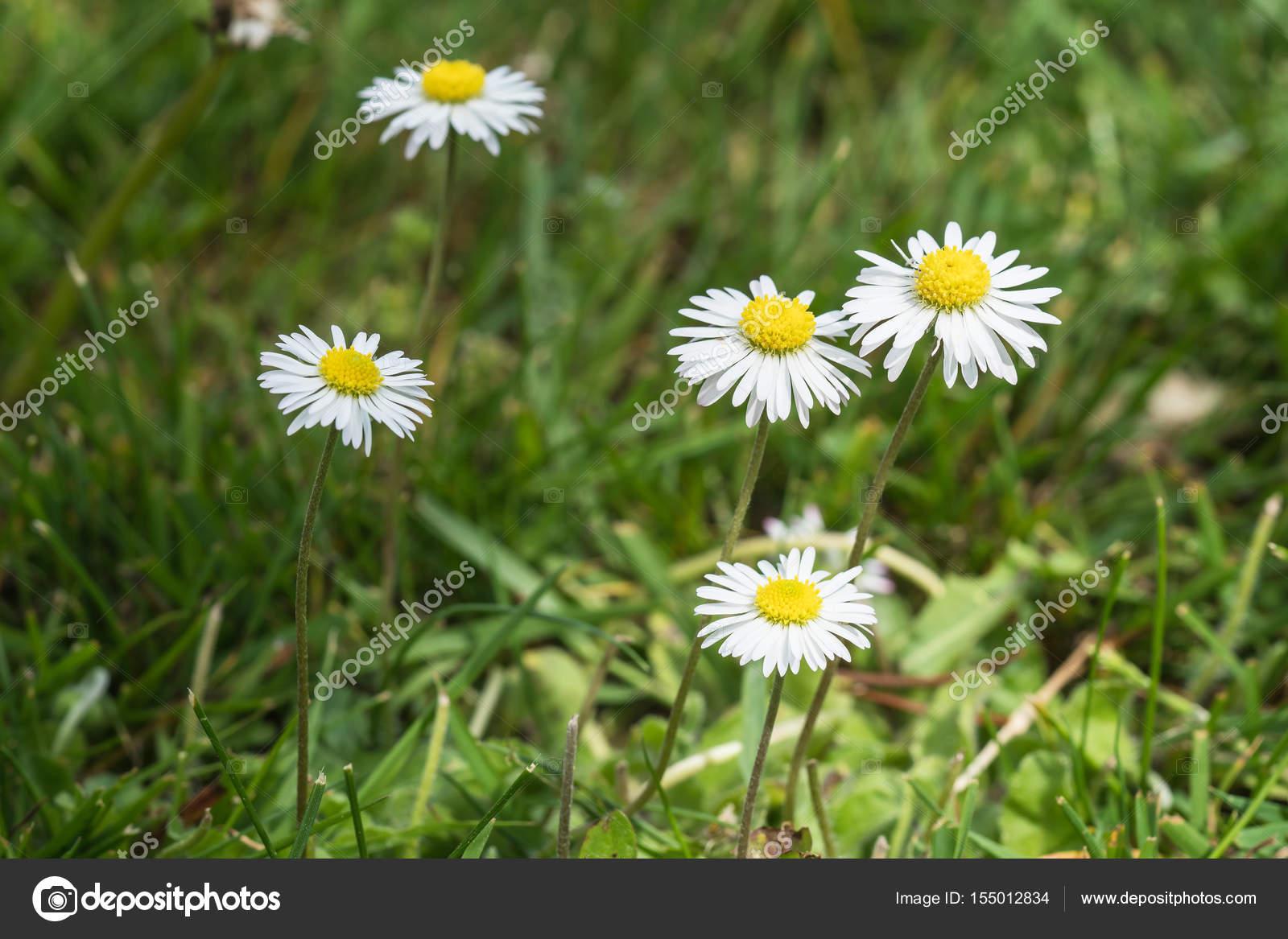 Bellis Blommor I En Grasmatta Stockfotografi C Jgade