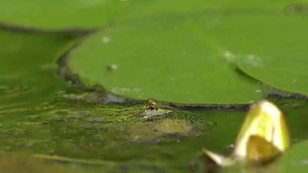 Malá zelená žába v rybníce