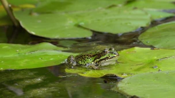 grüne frosch auf seerose blatt