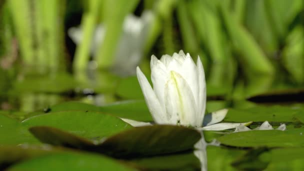 Nedokonalé vodě lily květina