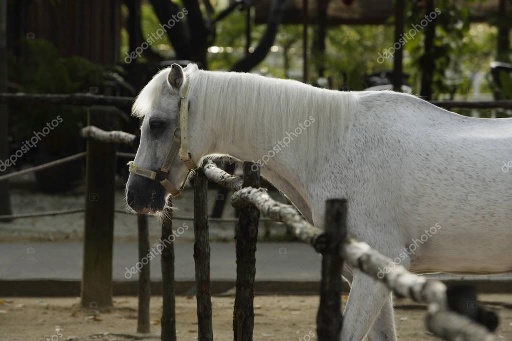 profile of white horse in stable