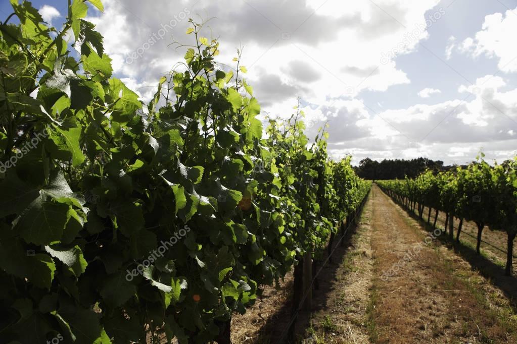 Rows of grape vines in vinyard