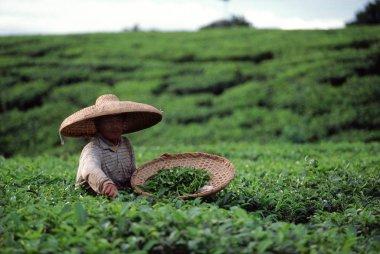 Bandung, tea plantation