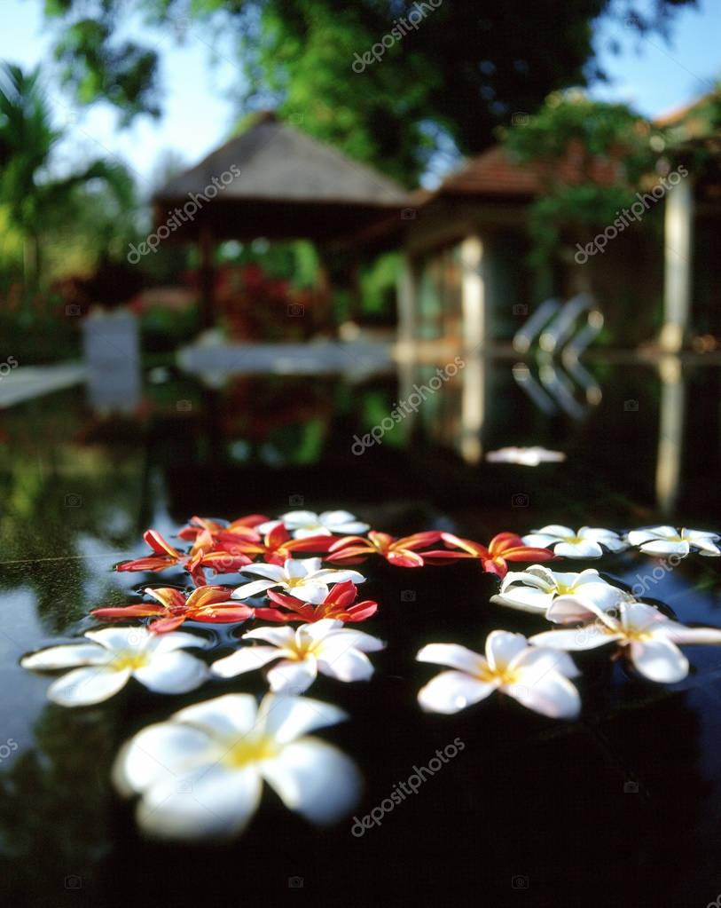 frangipani flowers in water