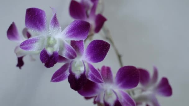 Blooming purple Orchids