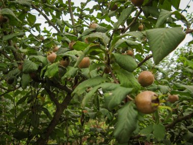 Branch with fresh ripe medlar or Mespilus germanica fruits in jungle. Medlar fruits among the green branches of the tree.