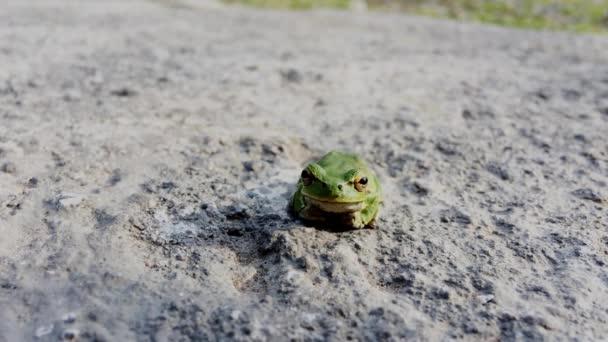 Ein einziger Grüner Frosch sitzt an Land. Grüner asiatischer Laubfrosch