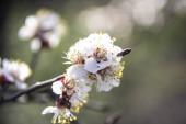 Meruňkové květy kvetou na jaře, kvetou na mladé větvi stromu. Zavřít meruňkový květ bílé květy v slunném jarním pozadí