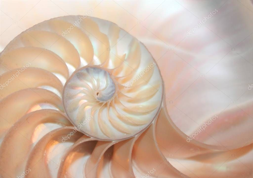 nautilus shell spiral symmetry cross section fibonacci pattern in nautilus sea shell