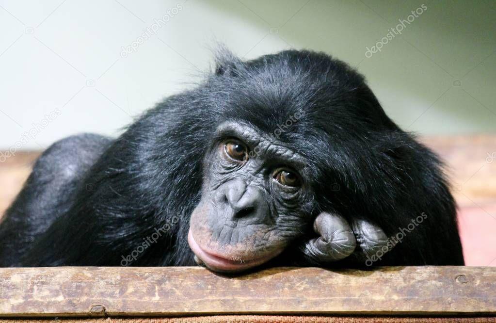 chimpanzee chimp (Pan troglodytes) ape chimp looking to camera sad emotional thoughtful look