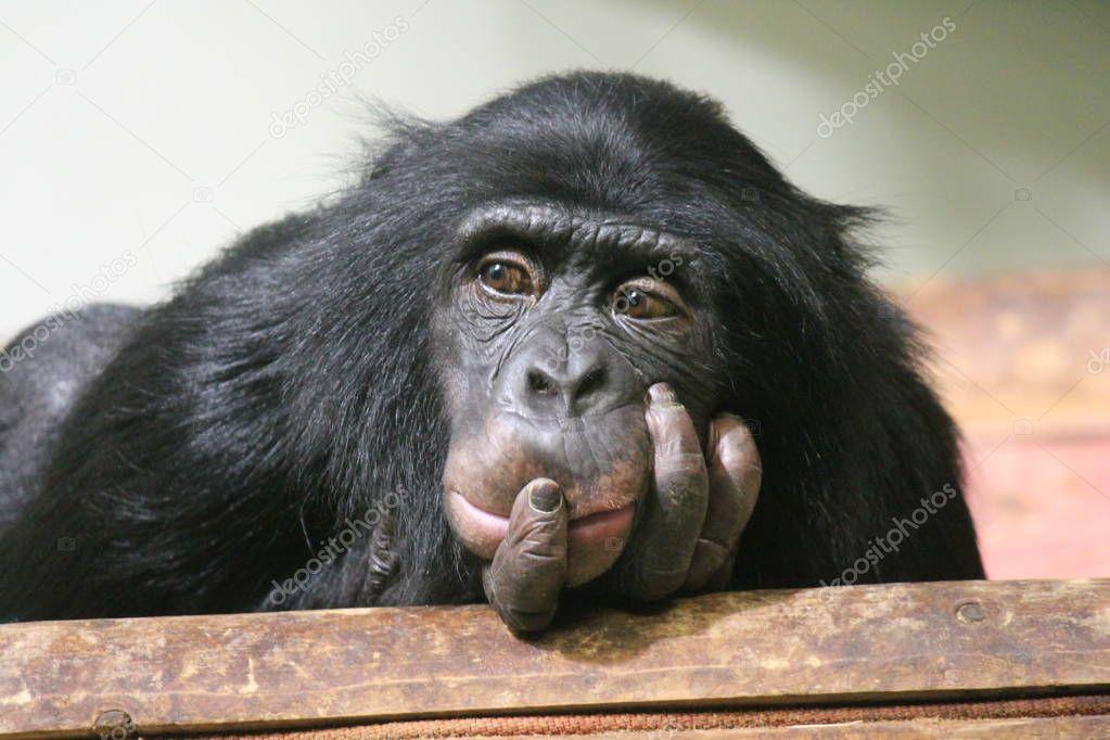 chimpanzee chimp (Pan troglodytes) ape looking to camera sad emotional thoughtful look