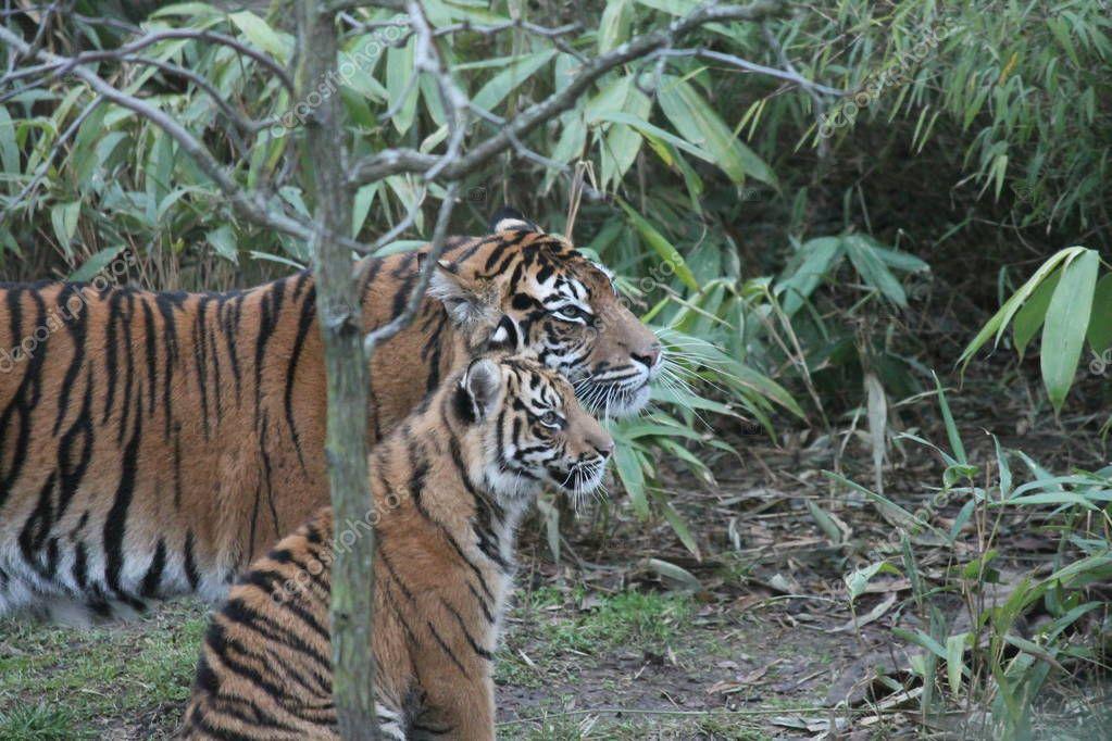cub Sumatran Tiger rare and endagered