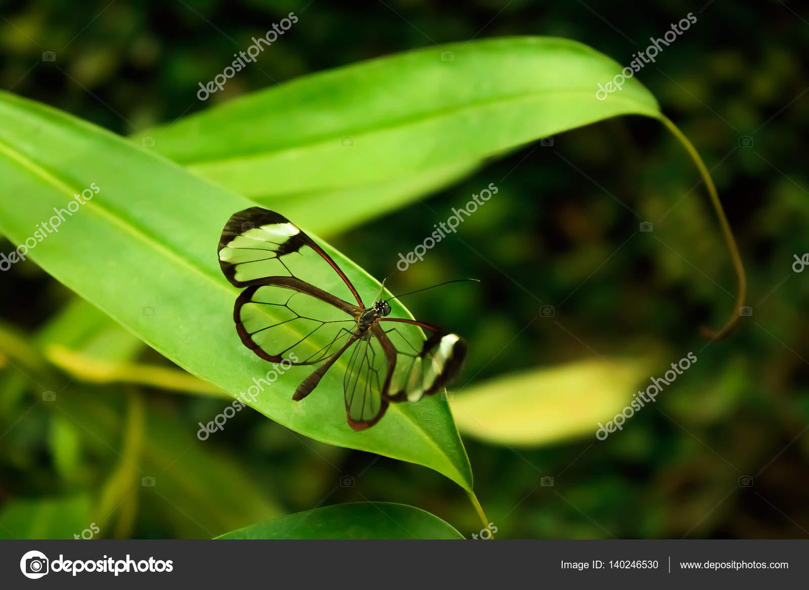 Glasswinged Butterfly Greta Oto Stockfoto Rometl6 140246530