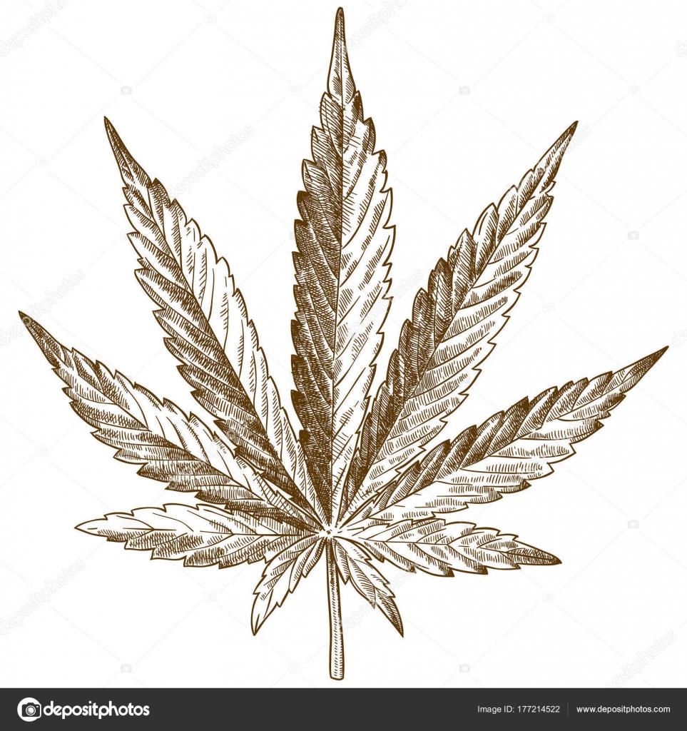 Gravure Dessin Illustration De Feuille De Cannabis Image