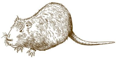 engraving drawing illustration of nutria or coypu