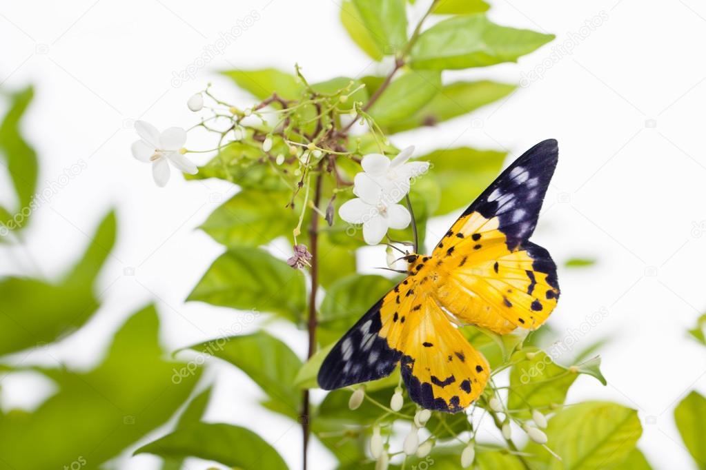 Die gefleckte Golden-Looper Motte mit Blume — Stockfoto © lirtlon.s ...