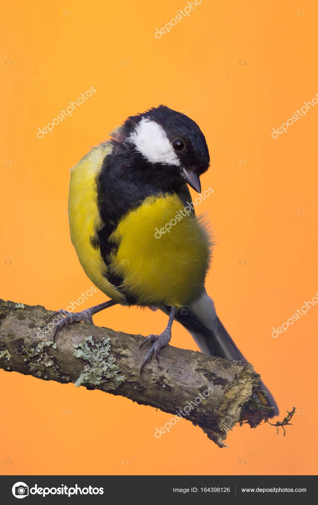 Δωρεάν πιπιλίζουν πουλί βίντεο