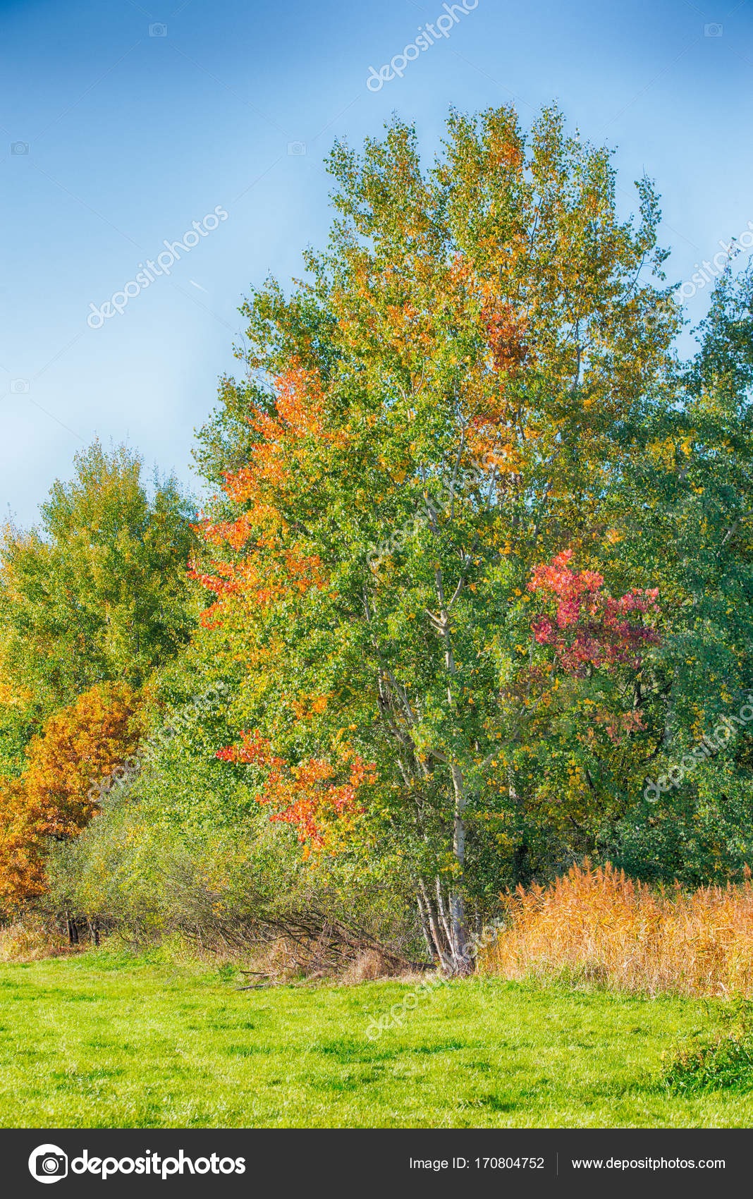 Few birch trees with color autumn leaves next to meadow — Stock ...
