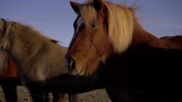 Ritka és egyedülálló izlandi lovak naplementekor.